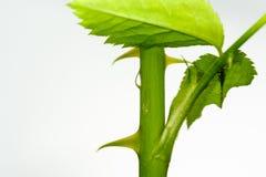 Ziołowy roślina trzon z wody kroplą Zdjęcie Stock