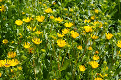 Ziołowy rośliny gumweed obraz royalty free