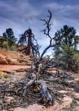 Zion国家公园停止的结构树 库存照片