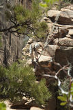 Zion Angels Landing Maneuvering the Drop Off Stock Image