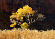 Zion Cottonwood Royalty Free Stock Photography