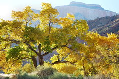 Zion Fall Cottonwoods. Colorful fall cottonwoods in late day sunlight, captured in autumn in the fields of Zion National Park, Arizona Stock Photography