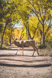 Zion locals. A deer crossing a smal dirt path in Zion national park, Utah stock image