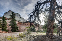 Zion National Park dead tree Stock Photos