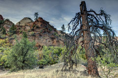 Zion National Park lignhtning struck tree Royalty Free Stock Images