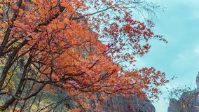 Zion national park trees autumn season royalty free stock images