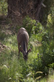 A mule deer (Odocoileus hemionus) Stock Photos