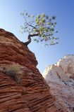 Zion Tree. A lone, gnarled pine tree grows out of a rock outcropping in Zion National Park Stock Photography