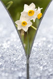 Zipper revealing narcissus Royalty Free Stock Images