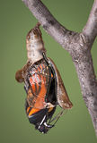 Zippered chrysalis. A viceroy butterfly is emerging from its chysalis through an open zipper Royalty Free Stock Image