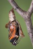 Zippered chrysalis Royaltyfri Bild