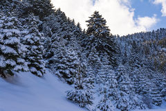 Ziria mountain fir trees covered with snow on a winter day, South Peloponnese, Greece Stock Photo