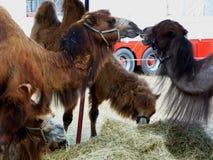 Zirkuskamele, die eine Mittagspause haben lizenzfreie stockfotografie
