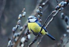 Zit de de lente kleine kleurrijke vogel op de tak van een wilgenbloomi Stock Afbeeldingen