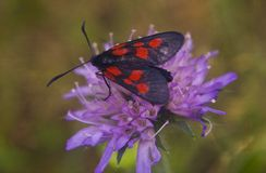 Zit de vlinder zwarte en rode punten op een purpere bloem royalty-vrije stock foto