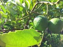 Zitrone auf Baum Lizenzfreie Stockfotos