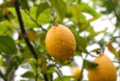 Zitrone auf Baum nach Regen mit Wassertröpfchen Lizenzfreies Stockfoto