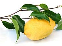 Zitrone auf Blättern Lizenzfreies Stockfoto