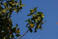 Zitrone auf dem Baum Stockfotos
