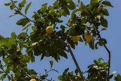 Zitrone auf dem Baum Stockfotografie