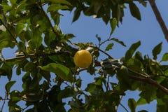 Zitrone auf dem Baum Lizenzfreie Stockfotos
