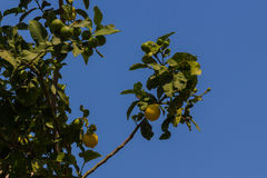 Zitrone auf dem Baum Lizenzfreies Stockfoto
