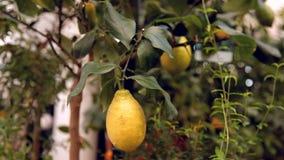 Zitrone auf einem Baumast stock video footage