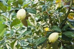 Zitrone auf Zitronebaum. Stockfoto