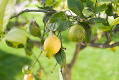 Zitrone auf Zitronenbaum lizenzfreies stockbild