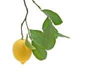 Zitrone auf Zweig Lizenzfreies Stockbild