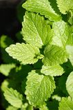 Zitrone-Balsam Lizenzfreies Stockfoto