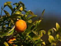 Zitrone-Baum Stockbilder