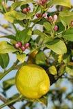 Zitrone am Baum mit Blüte Stockbilder