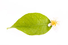 Zitrone-Blatt und Blume Stockfotografie