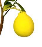 Zitrone, ein angebaut im Haus, auf einer Zweignahaufnahme Stockfotografie