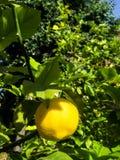 Zitrone in einem Garten stockfotografie