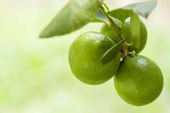 Zitrone - Limão EM-fundo verde Stockfotos