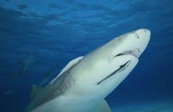 Zitrone Négaprion brevirostris/requin Lizenzfreie Stockfotografie