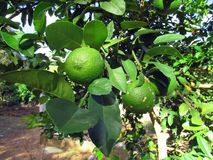 Zitrone-Nelke Zitrusfrucht Ã-limonia lizenzfreies stockbild
