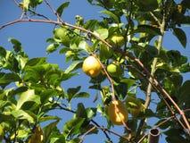 Zitrone trägt Früchte, hängend am Baum gegen den blauen Himmel Stockfotos