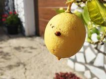 Zitrone und die Wanzen-Dame Stockfotografie