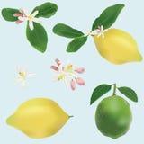 Zitrone und Kalkfrüchte und -blumen Stockbild