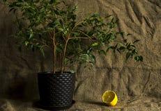 Zitrone unter dem Ficus Stockfotos