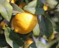 Zitrone von Sizilien, das von einem Baum hängt Stockbilder