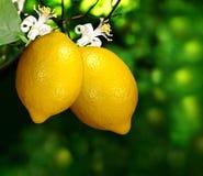 Zitrone zwei auf einem Zweig Stockfoto