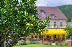 Zitronebaum in einem Park Stockbild