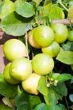 Zitronen auf Baum. Stockfoto