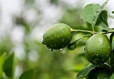 Zitronen auf Baum Lizenzfreies Stockfoto