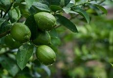 Zitronen auf Baum Lizenzfreie Stockfotos