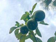 Zitronen auf Baum lizenzfreies stockbild